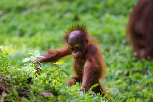 palm oil production produced investigation product orangutan