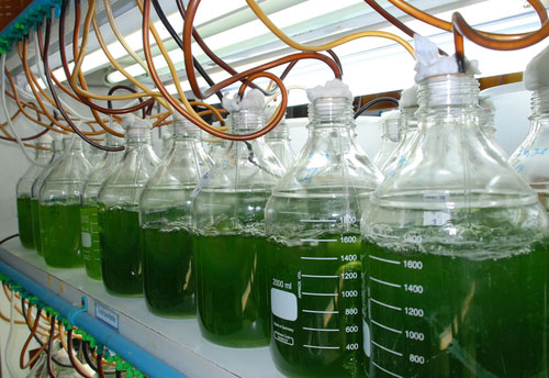 green microalgae sustainability