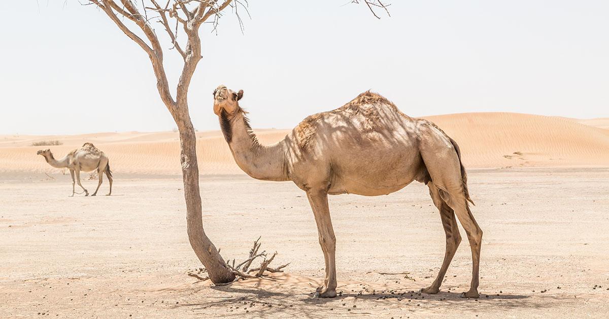 chameau australie ecosysteme abattu
