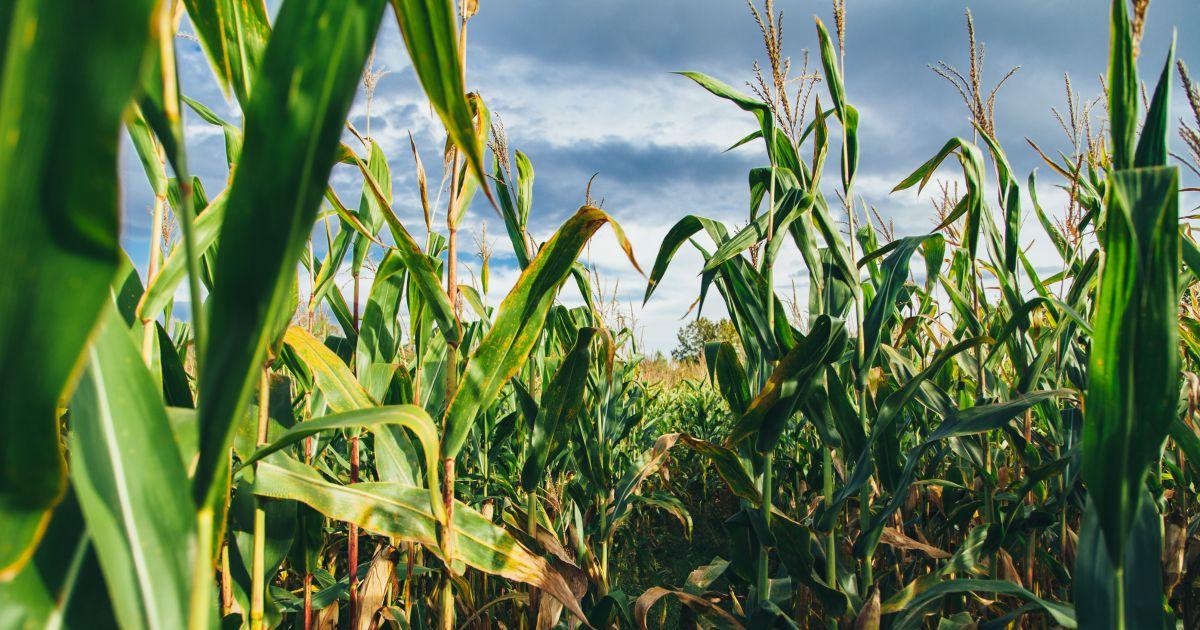 OGM champ maïs