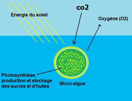fonctionnement de la cellule d'une algue