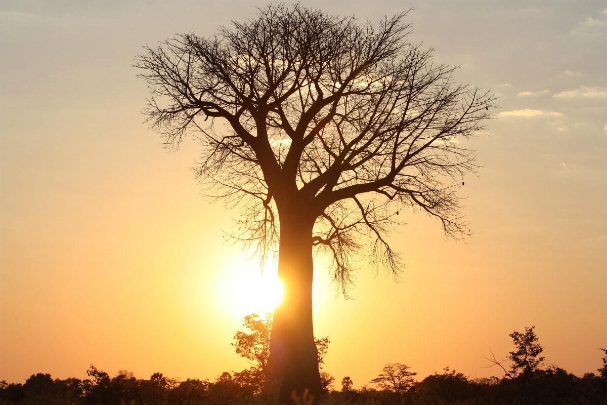 grande muraille verte Afrique baobab