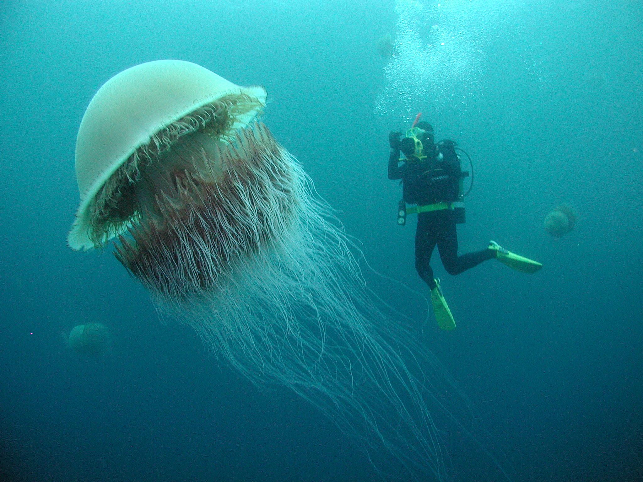 espèces invasives méduse